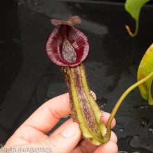 Load image into Gallery viewer, redleaf exotics – nepenthes for sale-520