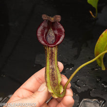 Load image into Gallery viewer, redleaf exotics – nepenthes for sale-521