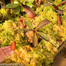 Load image into Gallery viewer, redleaf exotics – nepenthes for sale-523
