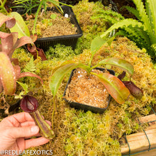 Load image into Gallery viewer, redleaf exotics – nepenthes for sale-524