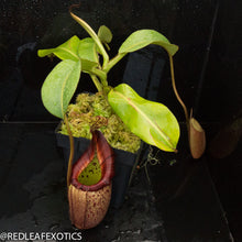 Load image into Gallery viewer, redleaf exotics – nepenthes for sale-529