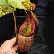 Load image into Gallery viewer, redleaf exotics – nepenthes for sale-531