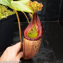Load image into Gallery viewer, redleaf exotics – nepenthes for sale-532