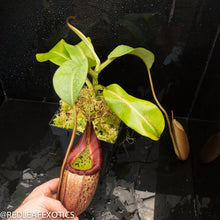 Load image into Gallery viewer, redleaf exotics – nepenthes for sale-533
