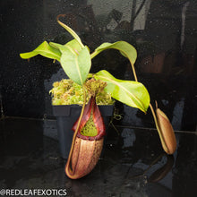 Load image into Gallery viewer, redleaf exotics – nepenthes for sale-534