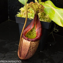 Load image into Gallery viewer, redleaf exotics – nepenthes for sale-535