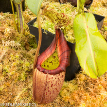 Load image into Gallery viewer, redleaf exotics – nepenthes for sale-538
