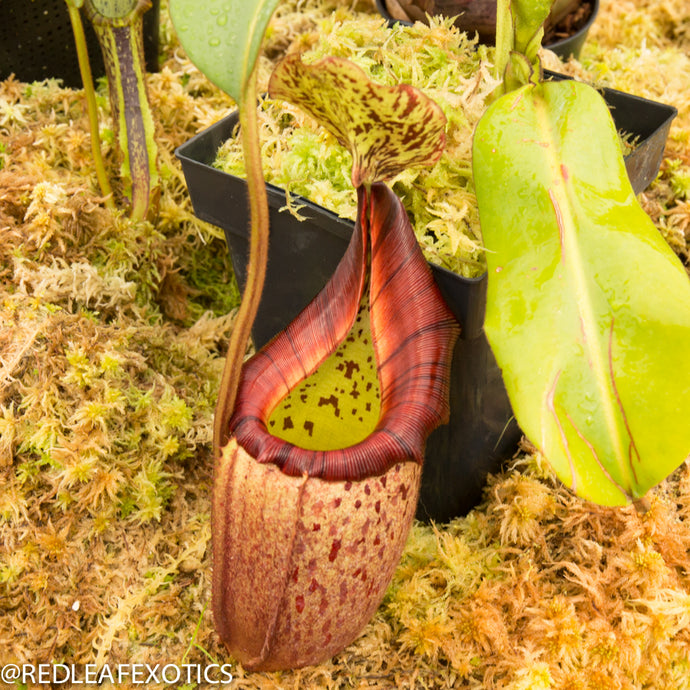 redleaf exotics – nepenthes for sale-538