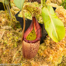 Load image into Gallery viewer, redleaf exotics – nepenthes for sale-539