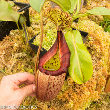 Load image into Gallery viewer, redleaf exotics – nepenthes for sale-540