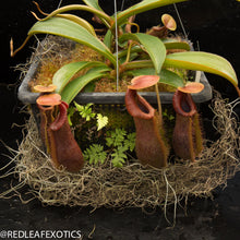 Load image into Gallery viewer, redleaf exotics – nepenthes for sale-541