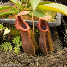 Load image into Gallery viewer, redleaf exotics – nepenthes for sale-542