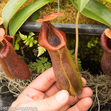 Load image into Gallery viewer, redleaf exotics – nepenthes for sale-543