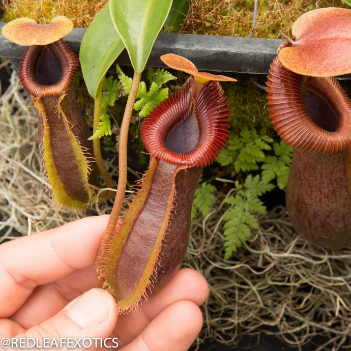 redleaf exotics – nepenthes for sale-544