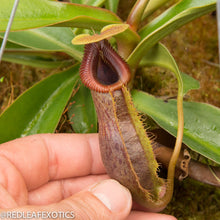 Load image into Gallery viewer, redleaf exotics – nepenthes for sale-545