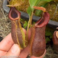 Load image into Gallery viewer, redleaf exotics – nepenthes for sale-546