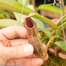 Load image into Gallery viewer, redleaf exotics – nepenthes for sale-552
