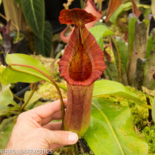 Load image into Gallery viewer, redleaf exotics – nepenthes for sale-567
