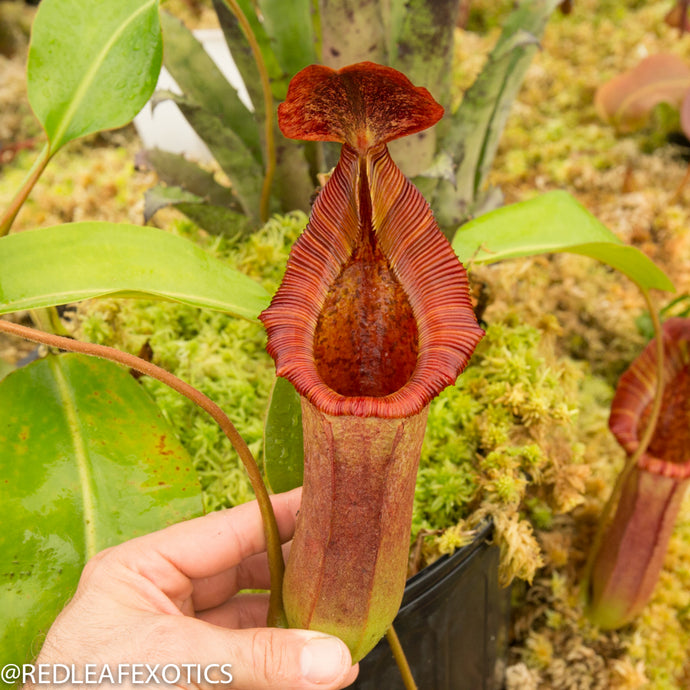 redleaf exotics – nepenthes for sale-568