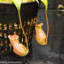 Load image into Gallery viewer, redleaf exotics – nepenthes for sale-570-2