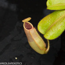Load image into Gallery viewer, redleaf exotics – nepenthes for sale-573-2