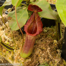 Load image into Gallery viewer, redleaf exotics – nepenthes for sale-574