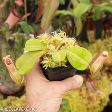 Load image into Gallery viewer, redleaf exotics – nepenthes for sale-575-2