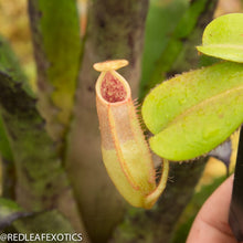 Load image into Gallery viewer, redleaf exotics – nepenthes for sale-576-2