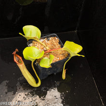 Load image into Gallery viewer, redleaf exotics – nepenthes for sale-595-2