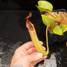 Load image into Gallery viewer, redleaf exotics – nepenthes for sale-596-2