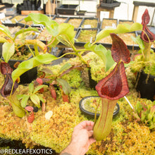 Load image into Gallery viewer, redleaf exotics – nepenthes for sale-6-3