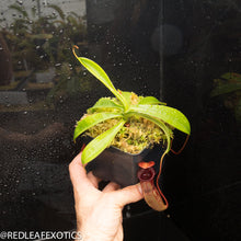 Load image into Gallery viewer, redleaf exotics – nepenthes for sale-68