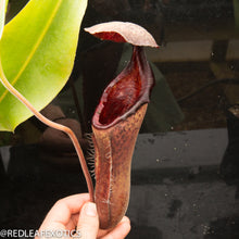 Load image into Gallery viewer, redleaf exotics – nepenthes for sale-7-2