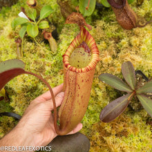Load image into Gallery viewer, redleaf exotics – nepenthes for sale-72