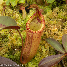 Load image into Gallery viewer, redleaf exotics – nepenthes for sale-73