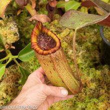 Load image into Gallery viewer, redleaf exotics – nepenthes for sale-74