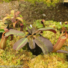 Load image into Gallery viewer, redleaf exotics – nepenthes for sale-76