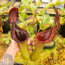 Load image into Gallery viewer, redleaf exotics – nepenthes for sale-8-3