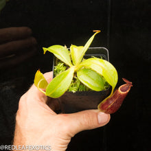 Load image into Gallery viewer, redleaf exotics – nepenthes for sale-804