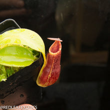 Load image into Gallery viewer, redleaf exotics – nepenthes for sale-807