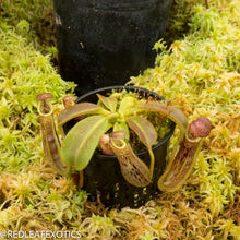 Load image into Gallery viewer, redleaf exotics – nepenthes for sale-814