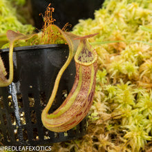 Load image into Gallery viewer, redleaf exotics – nepenthes for sale-816