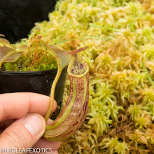 Load image into Gallery viewer, redleaf exotics – nepenthes for sale-817