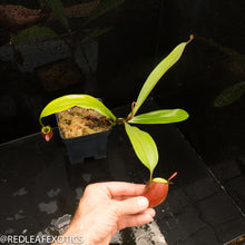 Load image into Gallery viewer, redleaf exotics – nepenthes for sale-847
