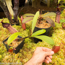 Load image into Gallery viewer, redleaf exotics – nepenthes for sale-853