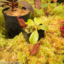 Load image into Gallery viewer, redleaf exotics – nepenthes for sale-883