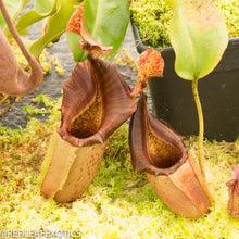 Load image into Gallery viewer, redleaf exotics – nepenthes for sale-885
