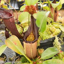 Load image into Gallery viewer, redleaf exotics – nepenthes for sale-886