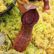 Load image into Gallery viewer, redleaf exotics – nepenthes for sale-9-2