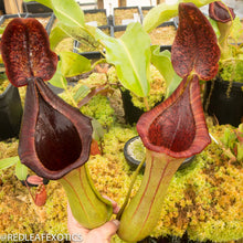 Load image into Gallery viewer, redleaf exotics – nepenthes for sale-9-3